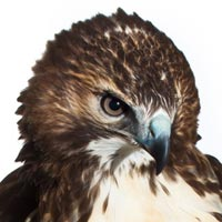 How to Photograph Birds of Prey in White